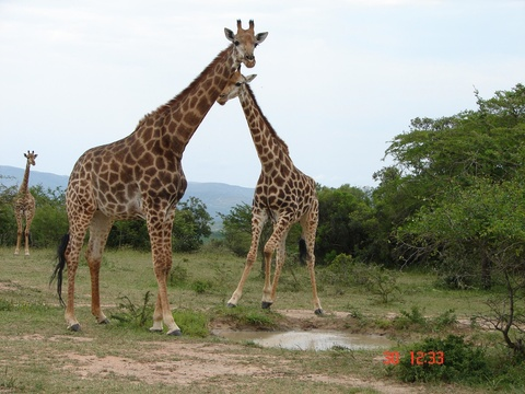 Girafee at Spionkop Nature Reserve